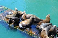 Zeeleeuwen op een houten pijlerdok royalty-vrije stock afbeeldingen