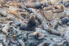 Zeeleeuwen op een rots bij de kust dichtbij Lima Stock Fotografie