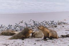Zeeleeuwen op een strand Stock Foto