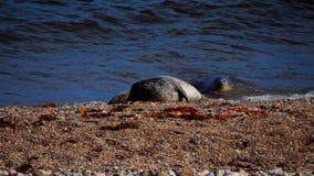 Zeeleeuwen op een strand in Schotland Stock Foto's