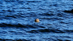 Zeeleeuwen op een strand in Schotland Stock Afbeeldingen