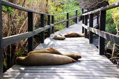 Zeeleeuwen op een Woodbreck in de Eilanden van de Galapagos royalty-vrije stock afbeeldingen