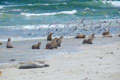 Zeeleeuwen op het strand Stock Fotografie