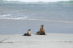 Zeeleeuwen op het strand Royalty-vrije Stock Fotografie