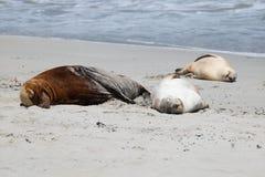 Zeeleeuwen op het strand Royalty-vrije Stock Afbeeldingen