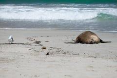 Zeeleeuwen op het strand Royalty-vrije Stock Foto's