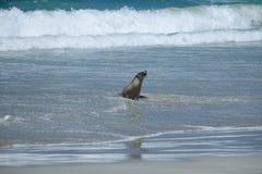 Zeeleeuwen op het strand bij kangoeroeeiland Stock Afbeeldingen