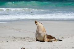 Zeeleeuwen op het strand bij kangoeroeeiland Stock Foto's
