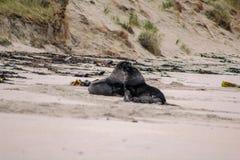 Zeeleeuwen op het strand bij Otago-Schiereiland, Zuideneiland, Nieuw Zeeland stock fotografie