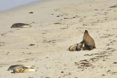 Zeeleeuwen op het strand van de Verbindingsbaai Royalty-vrije Stock Fotografie