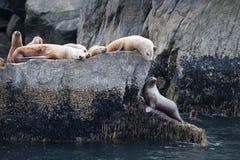 Zeeleeuwen op kustrotsen stock foto's