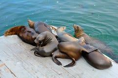 Zeeleeuwen op platform stock fotografie