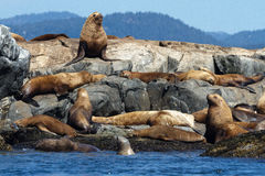 Zeeleeuwen op rotsen Stock Foto's
