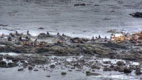 Zeeleeuwen op rotsen van de Vreedzame kust Royalty-vrije Stock Foto's