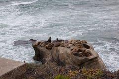 Zeeleeuwen op steen in San Diego Stock Afbeelding