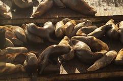 Zeeleeuwen in pijlers 39, San-Francsico Stock Foto's