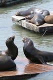 Zeeleeuwen San Francisco Stock Afbeeldingen