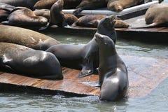 Zeeleeuwen San Francisco Stock Foto