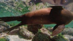 Zeeleeuwen zwemmen onderwater in langzame motie stock footage
