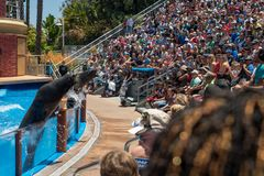 Zeeleeuwenschors bij menigte van bezoekers in een pool bij San Diego Sea World in Californië royalty-vrije stock fotografie