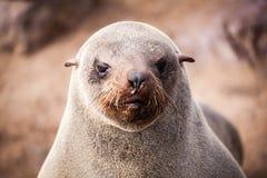 Zeeleeuwenverbindingen, Otariinae met jongen stock foto