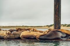 Zeeleeuwenzitkamer op een drijvend dok in het midden van de Morro-Baaihaven royalty-vrije stock foto's