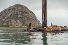 Zeeleeuwenzitkamer op een drijvend dok in het midden van de Morro-Baaihaven stock foto's