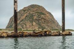 Zeeleeuwenzitkamer op een drijvend dok in het midden van de Morro-Baaihaven royalty-vrije stock afbeelding