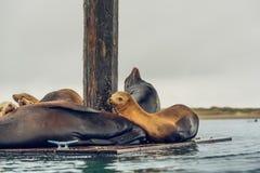 Zeeleeuwenzitkamer op een Drijvend Dok stock afbeelding