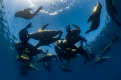 Zeeleeuwfamilie onderwater in backlight Royalty-vrije Stock Afbeeldingen