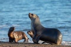 Zeeleeuwfamilie op het strand in Patagonië Royalty-vrije Stock Afbeeldingen