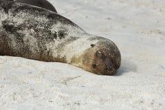 Zeeleeuwjong met zandslaap wordt behandeld op het strand dat Stock Foto's