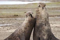 Zeeleeuwmannetjes in een territoriale strijd stock foto