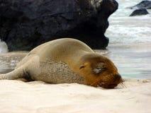 Zeeleeuwslaap op bal van San Cristà ³ Eiland de Galapagos Stock Fotografie