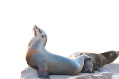 Zeeleeuwslaap op grote die steen op witte achtergrond wordt geïsoleerd Stock Foto's