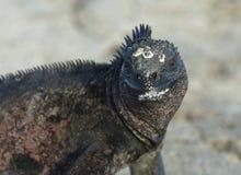 Zeeleguaan,海产鬣蜥蜴, Amblyrhynctus cristatus 库存图片