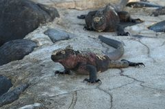 Zeeleguaan, Marine Iguana, Amblyrhynctus cristatus. Zeeleguaan, Marine Iguana stock image