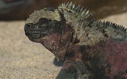 Zeeleguaan, Marine Iguana, cristatus de Amblyrhynctus fotografia de stock