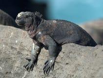 Zeeleguaan, Marine Iguana, cristatus de Amblyrhynctus imagens de stock