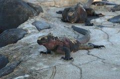 Zeeleguaan, Marine Iguana, cristatus de Amblyrhynctus imagem de stock
