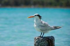 Zeemeeuw - Anse DE Sainte Anne - Guadeloupe - Caraïbisch tropisch eiland stock afbeelding
