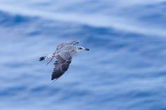 Zeemeeuw bij de oceaan Stock Afbeeldingen