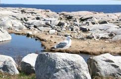 Zeemeeuw bij de Rotsen stock foto