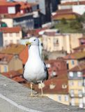Zeemeeuw bij Douro-rivier en Ribeira van daken in Vila Nova de Gaia, Porto, Portugal Stock Foto's