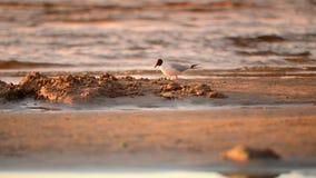 Zeemeeuw bij een strand stock video