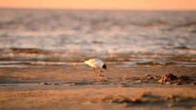 Zeemeeuw bij een strand stock videobeelden