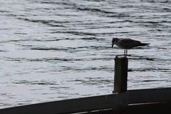Zeemeeuw bij Meer Ida, Florida stock foto's