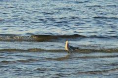 Zeemeeuw in de Golf van Mexico royalty-vrije stock fotografie