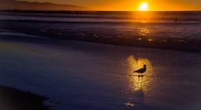Zeemeeuw in de gouden reflex van het voorbijgaande water stock afbeeldingen