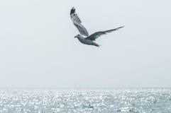Zeemeeuw in de hemel Zeemeeuw die over overzees vliegt Stock Fotografie